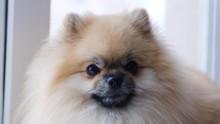 Pomeranian Dog Sits Near The W...
