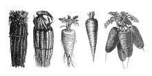 Salsify And Carrot - Antique Engraved Illustration From Brockhaus Konversations-Lexikon 1908