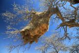 Fototapeta Sawanna - olbrzymie gniazda na gałęziach afrykańskich drzew