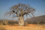 Fototapeta Sawanna - afrykański duży stary suchy baobab stojący wśród suchych traw
