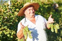 Senior Vintager Harvesting The Grape