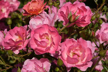 Large Variety Of Rose Flowers,...