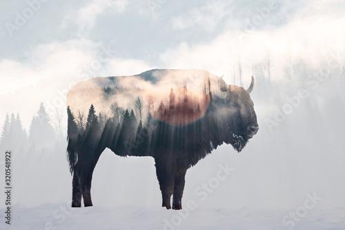 Obraz na plátně Wild bison