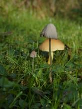 Three Mushrooms Dew Drops