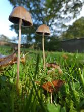 Mushroom Pair. Pleated Inkcap....