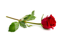 One Red Rose Isolated On White...