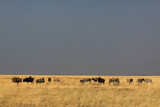 Fototapeta Sawanna - afrykańskie zwierzęta pasące się na wyschniętych trawach sawanny