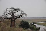 Fototapeta Sawanna - duży baobab stojący wśród traw na afrykańskiej sawannie