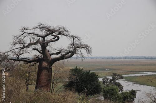 duży baobab stojący wśród traw na afrykańskiej sawannie
