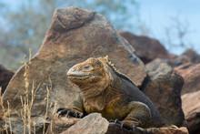 Galapagos Land Iguana, Conolop...