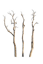 Dry Tree Branch Isolated On Wh...