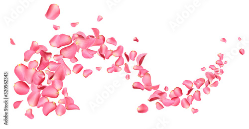 Flying fresh pink rose petals on white background
