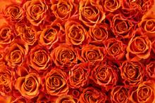 オレンジ色の薔薇の背...