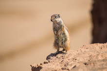 Ground Squirrel Stands On A Ro...