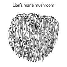 Lion S Mane Mushroom Hericium Erinaceus , Edible And Medicinal Plant