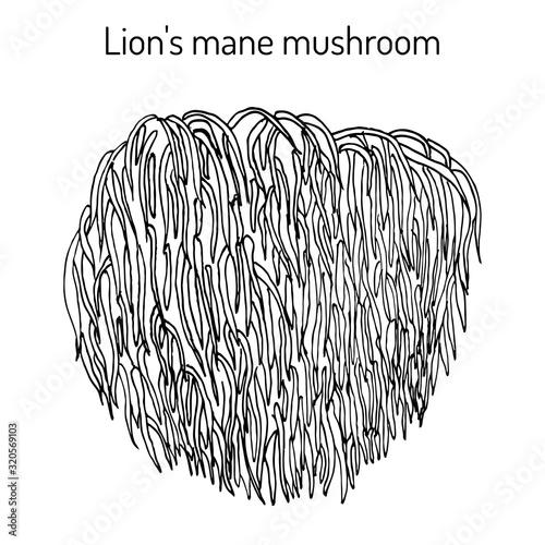 Carta da parati Lion s mane mushroom Hericium erinaceus , edible and medicinal plant