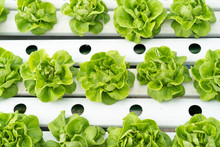 Close Up Green Lettuce In Hydr...