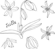 Scilla Monochrome Contour. Set White Black Flowers Scilla.Spring Flowers