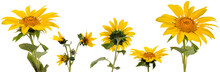 Five Sunflower Flowers On Stems At Various Angles On White Background