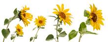 Few Various Sunflower Flowers ...