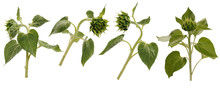 Four Unopened Sunflower Buds On Stems At Various Angles On White Background