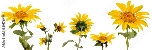 Fotografie, Obraz Five sunflower flowers on stems at various angles on white background
