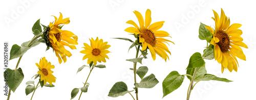 Obraz Few various sunflower flowers on stems at various angles on white background - fototapety do salonu