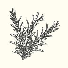 Rosemary Herb Branch Ink Sketch Isolated. Monochrome Food Ingredient.