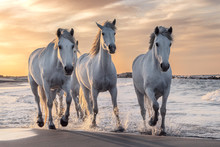 White Horses In Camargue, Fran...