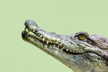 Crocodile Head Isolated Close ...