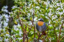 Cape Robin Chat In Bush In Sou...