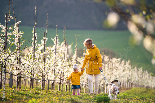 Obraz Front view of senior grandmother with granddaughter walking in orchard in spring. - fototapety do salonu