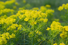 Sprigs Of Bright Yellow Flower...