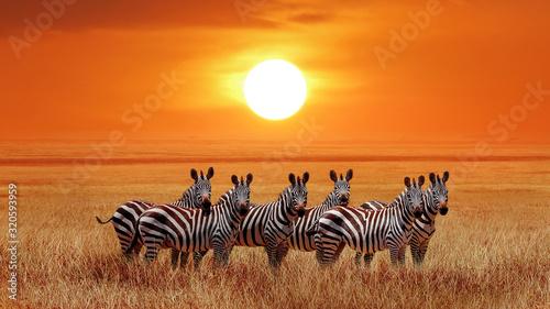 Grupa zebry w afrykańskiej sawannie przeciw pięknemu zmierzchowi. Park Narodowy Serengeti. Tanzania. Afryka.