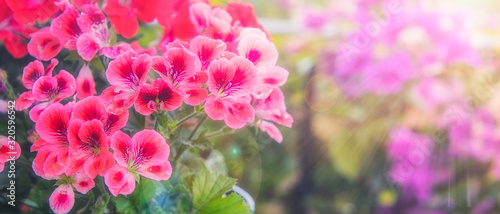 Photo Balcony flowers, small garden with blossom of geranium