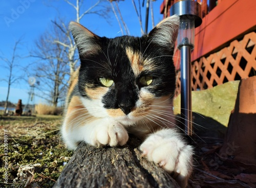 Calico cat scratching its paws on a wooden post in a yard
