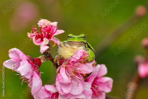 Photo Beautiful Europaean Tree frog Hyla arborea