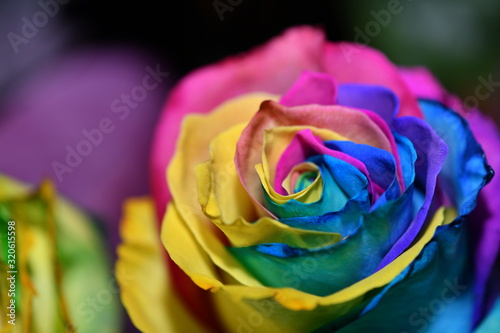 Fototapety, obrazy: multicolor rose in an unusual color combination