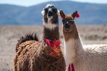 Two Bolivian Llamas Decorated ...