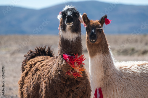 Fototapeta Two Bolivian Llamas decorated with red yarn tassels in the wild obraz