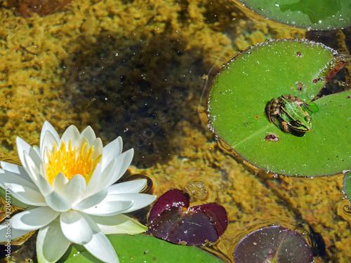 Photo Frosch sitzt auf einem Seerosenblatt neben der Blüte einer Seerose