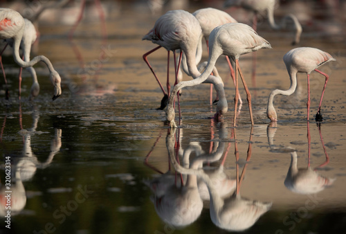 Greater Flamingos feeding and dramatic reflection on water at Tubli bay in the morning, Bahrain