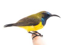 Male Olive-backed Sunbird - Ci...