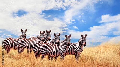 Grupa dzikie zebry w afrykańskiej sawannie przeciw pięknemu niebieskiemu niebu z białymi chmurami. Wildlife of Africa. Tanzania. Park Narodowy Serengeti. Afrykański krajobraz.