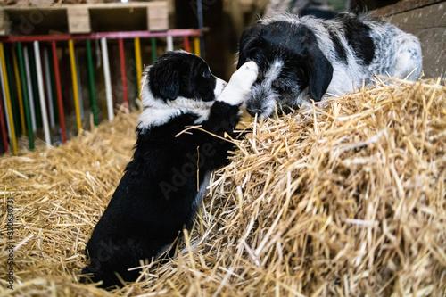 Fotomural Welpe und ausgewachsener Hund toben im Stroh