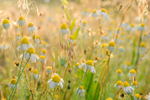 Morning Sun Rays On Ears Of Wild Grass. Medicinal Chamomile Flowers And Stalks Of Field Herbs With Dew Drops. Side View. Eye Level Shooting. Selective Focus.