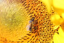 Bee On Sunflower In Summer Sea...