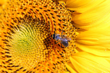 Bee On Sunflower In Summer Sea...