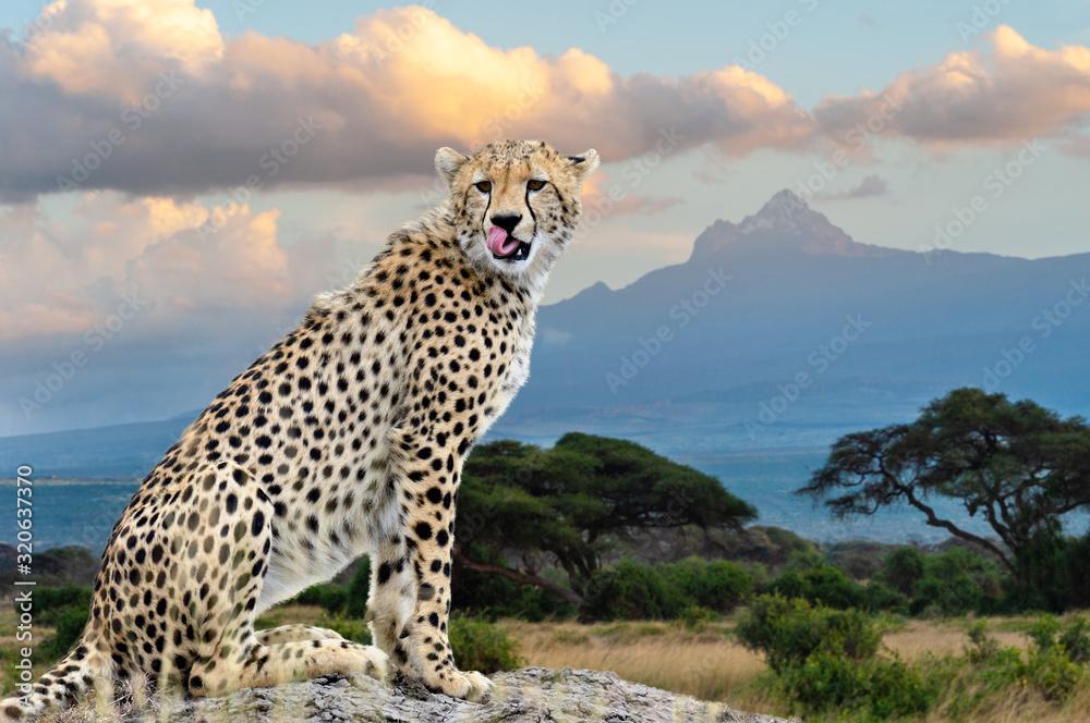 Fototapeta Wild african cheetah