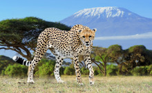 Wild African Cheetah On Kilima...